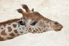 Kordofan giraffe & x28;Giraffa camelopardalis antiquorum& x29; Royalty Free Stock Photo