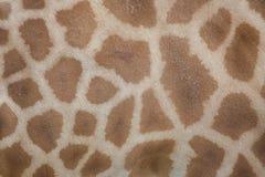 Kordofan żyrafa & x28; Giraffa camelopardalis antiquorum& x29; Skóry textu Zdjęcia Royalty Free