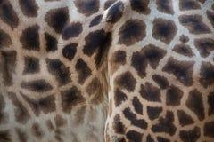 Kordofan żyrafa & x28; Giraffa camelopardalis antiquorum& x29; Skóry textu Zdjęcie Royalty Free