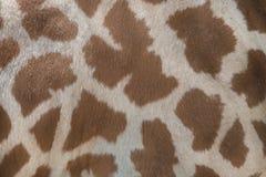 Kordofangiraf & x28; Giraffacamelopardalis antiquorum& x29; Huidtextu Royalty-vrije Stock Afbeelding