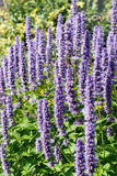 Koreańczyka kwiatu Nowy okwitnięcie (Agastache rugosa) Fotografia Royalty Free
