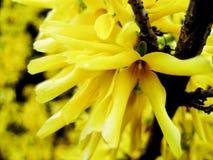 Koreański forsycj forsycj ovata w wiosna ogródzie Zmuszać forsycje, forsycje, krzak wiosna kwiat Obrazy Stock