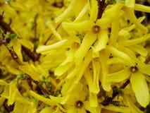 Koreański forsycj forsycj ovata w wiosna ogródzie Zmuszać forsycje, forsycje, krzak wiosna kwiat Obrazy Royalty Free