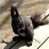 Korea-Eichhörnchen stockfotos