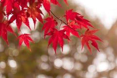 Koreaanse Esdoorn in de Herfst Stock Afbeelding