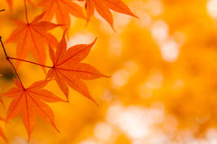 Koreaanse Esdoorn in de Herfst Stock Foto's