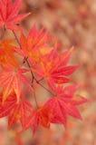 Koreaanse Esdoorn in de Herfst Stock Fotografie