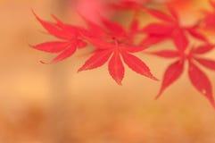 Koreaanse Esdoorn in de Herfst Stock Foto