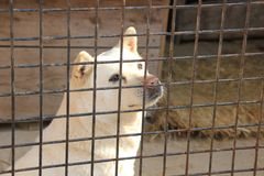 Koreaanse jachthondjindo royalty-vrije stock afbeeldingen