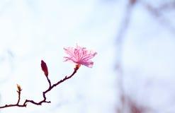 Koreaanse oleander Stock Foto