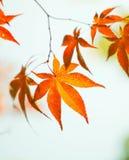 Koreaanse rode esdoornbladeren Stock Foto's