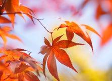 Koreaanse rode esdoornbladeren Royalty-vrije Stock Foto's