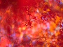 Koreaanse rode esdoornbladeren Stock Fotografie