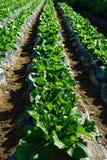 Korean cabbage Royalty Free Stock Photo