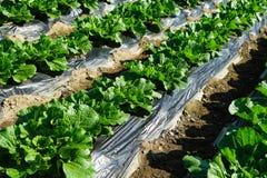Korean cabbage Stock Photos