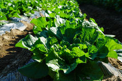 Korean cabbage Royalty Free Stock Photography