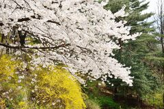 Korean cherry blossoms in full bloom Stock Images