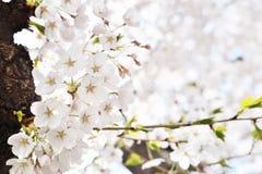 Korean cherry blossoms in full bloom Stock Photo