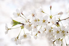 Korean cherry blossoms in full bloom Royalty Free Stock Photo