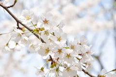 Korean cherry blossoms in full bloom Royalty Free Stock Images