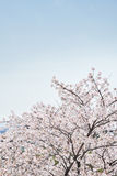 Korean cherry blossoms in full bloom Royalty Free Stock Photos