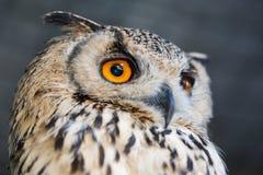 Korean Eagle Owl Stock Image