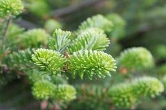 Korean fir branch Stock Images