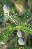 Korean fir cones Royalty Free Stock Photos