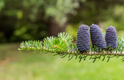 Korean Fir Tree Cones Stock Photography