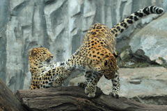 Korean leopard Stock Photos