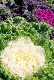 Korean Lettuce in garden Stock Images