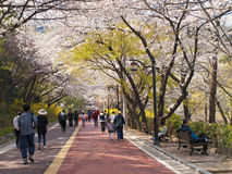 Korean people walking in park under blooming cherry trees Royalty Free Stock Photography