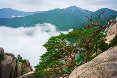 Korean pines against cloudy seorak mountains at the Seorak-san Royalty Free Stock Images