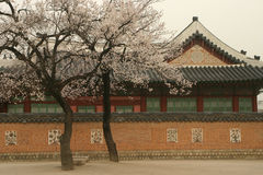 Korean temple scene. Korean temple with cherry blossom trees in the foreground Royalty Free Stock Image
