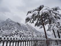 Koreanische Kiefer unter dem Schnee und große Berge auf dem Hintergrund Lizenzfreie Stockbilder