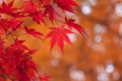Koreanischer Ahorn im Herbst Lizenzfreies Stockfoto