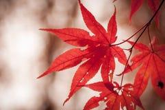 Koreanischer Ahorn im Herbst Stockbilder