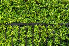 Koreanischer Bantambaumhintergrund der Baum wird als Hauptleck gewachsen lizenzfreie stockbilder