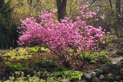 Koreanischer Rhododendron stockbilder