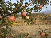 Koreansk fruktträdgård Royaltyfri Fotografi