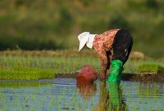 koreansk planterrice för kvinnlig Royaltyfria Bilder