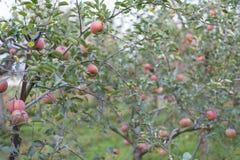Koreanska organiska Apple Royaltyfri Foto
