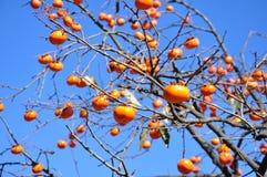 koreanska persimmons Fotografering för Bildbyråer