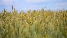 Korenaren het groeien op een gebied van tarwe en stock video