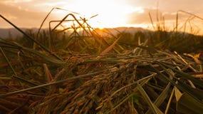 Korenaren op het gebied onder de zon in de avond Stock Afbeelding