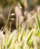 Korenaren op het gras Royalty-vrije Stock Fotografie