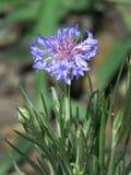 Korenbloem, centaureacyanus of korenbloemclose-up royalty-vrije stock afbeeldingen