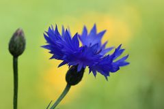 Korenbloem en bloemknop royalty-vrije stock fotografie