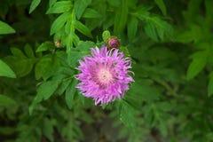 Korenbloem, knoopkruid, centaurea, lilac bloem, Stock Afbeelding