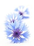 Korenbloemen royalty-vrije stock foto